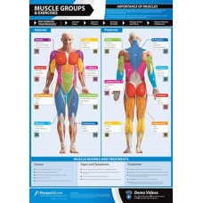 Anatomical Chart - Muscle Groups
