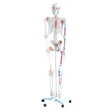 Anatomical Model Skeleton with Muscles and Ligaments 185cm