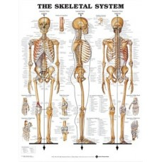 Skeletal Chart